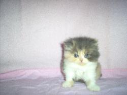 HIMALAYAN KITTENS / PERSIAN KITTENS PA/NJ /WWW KARKENSCATTERY COM